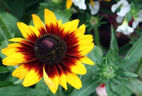 9 садовых цветов, которые мо…