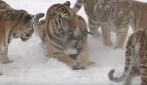 Амурские тигры  разбили снимавший их квадрокоптер