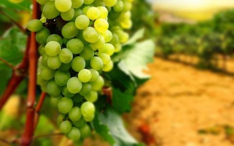Саженец винограда не растет: что делать?