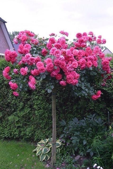 Штамбовая роза и красивые ид…