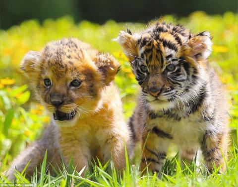 Дружба львенка и тигренка покорила сердца людей по всему миру!