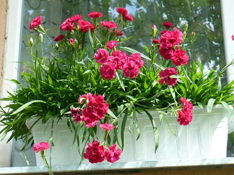 Гвоздика на вашем окне