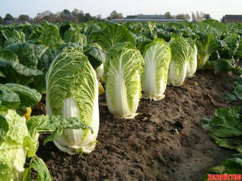 Особенности выращивания пекинской капусты