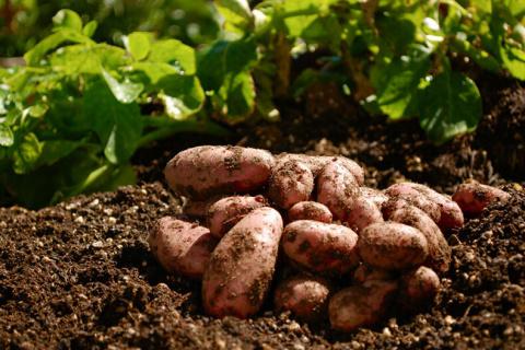 Как посадить картофель под зиму для суперраннего урожая