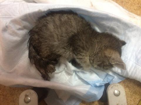 Новосибирец спас котенка с замороженными лапами, который полз по дороге
