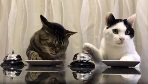 «Люди Павлова»: Эти кошки «учат» людей приносить им еду по звонку