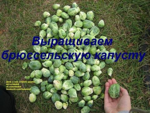 Выращиваем брюссельскую капусту