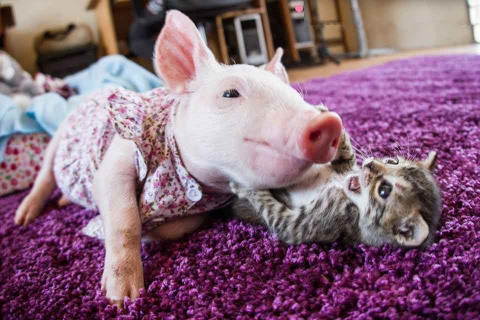 Спасенные поросенок и котенок становятся лучшими друзьями