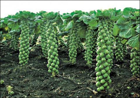 Как вырастить брюссельскую капусту по всем правилам?