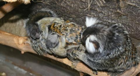 Самые маленькие в мире обезьяны мармозетки из парка «Мир джунглей» обзавелись потомством