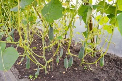 Защищаем огурцы. Как обезопасить растения от пероноспороза