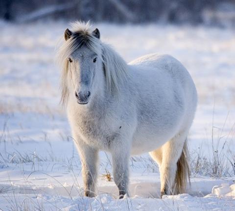 Мохнатые якутские лошади
