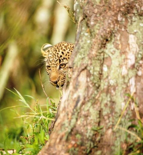 Невероятная женская хитрость  — как самка леопарда решала вопрос безопасности своих детей