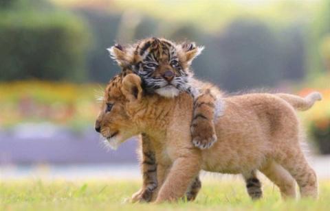 Неразлучные друзья — тигрено…