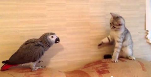Удивлению кота нет предела – попугай посмел оспорить диван!