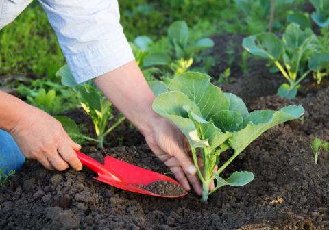 Когда и как сеять капусту на рассаду, не имея теплицы и парника