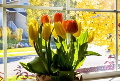 Выгонка тюльпанов в домашних…