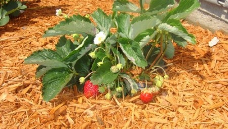 Мульчирование в помощь садоводам