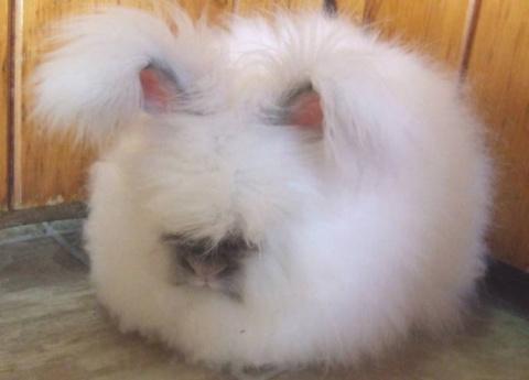 Самый пушистый кролик!
