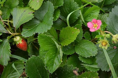 Как посадить садовую землянику - советы специалиста