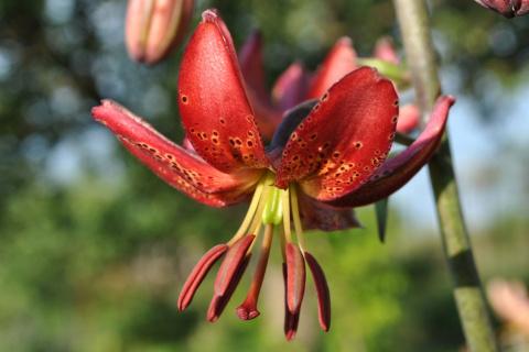 Лилии-мартагоны: один раз посадил, полвека любуешься