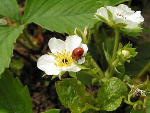 Как заботиться о землянике во время цветения