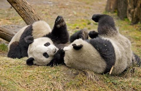 О животных с любовью. Панды