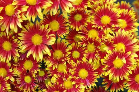 Бал хризантем 2016: мелкоцве…