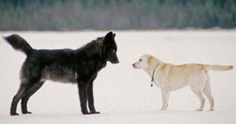 Хозяин смотрел, как волк при…