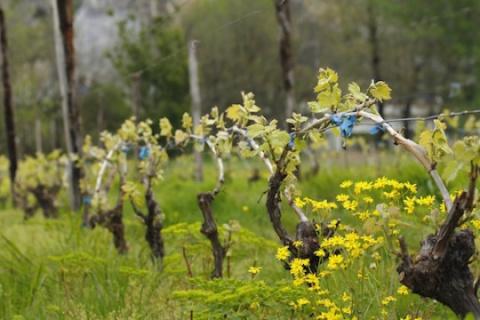 Восстановление замерзшего куста винограда