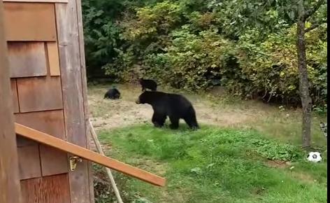 Канадец вежливо попросил медведей уйти в лес