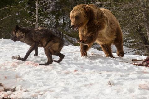 Медведь вступил в кровавую схватку со стаей волков ради туши оленя