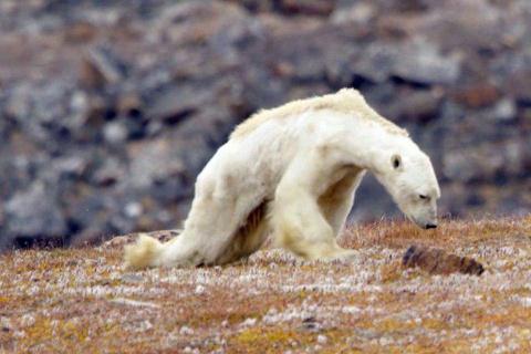 Видео с умирающим от голода белым медведем ужаснуло интернет-пользователей