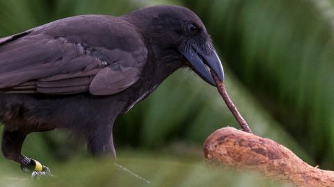 Ученые открыли второй вид птиц, изготавливающих орудия труда