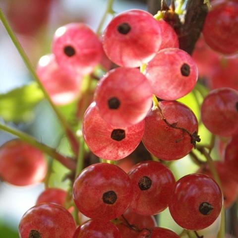 Розовая смородина: самая сладкая и ароматная ягода