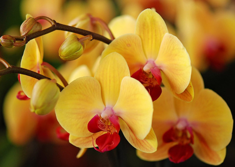 Как приручить строптивую орхидею