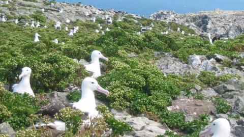 Королевских альбатросов сосчитали из космоса