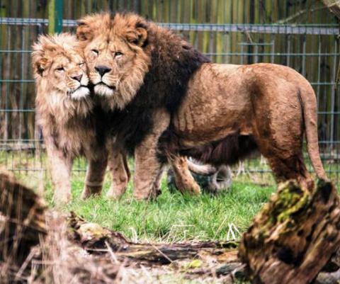 Невозможное возможно — одинокий лев вырастил осиротевшего львенка