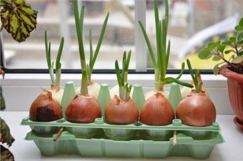6 самых выгодных сортов лука для подоконника