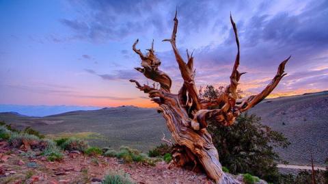 Старейшее дерево Мафусаил | …