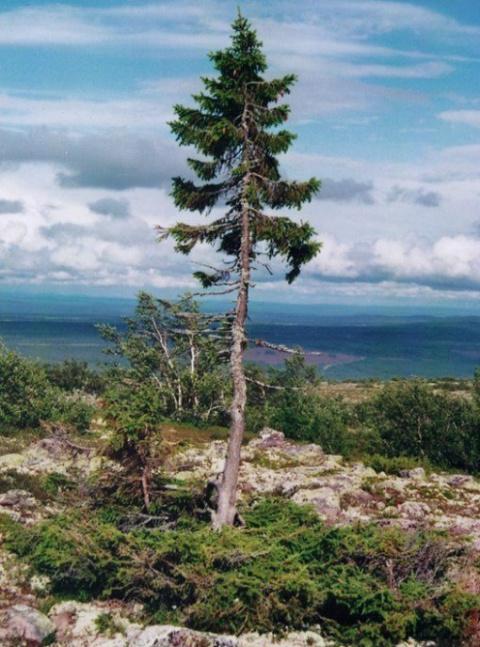 10 самых выдающихся деревьев…