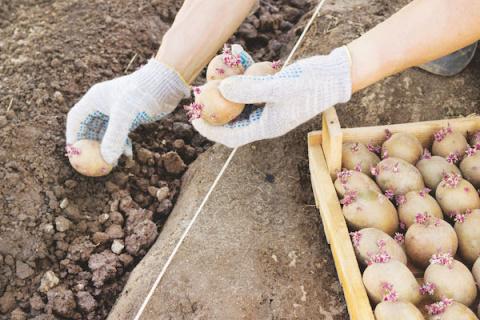 Сажаем картошку второй раз