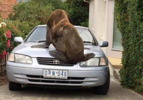 В Австралии тюлень-хулиган п…