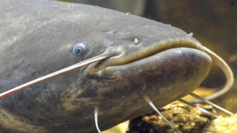 Кировский рыбак поймал сома …
