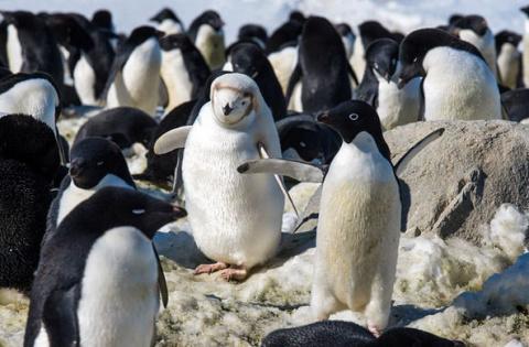 Среди пингвинов в Антарктиде…