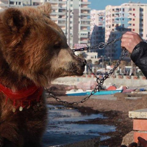 Спасение медведя с кольцом в носу, которого использовали для развлечения туристов