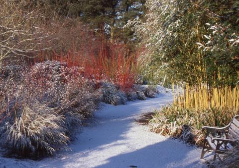 11 деревьев и кустарников с красивой корой, которые украсят зимний сад