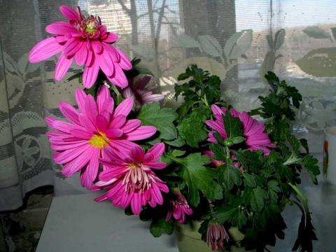 МИР РАСТЕНИЙ. Хризантемы в комнатных условиях