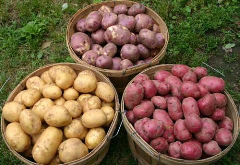 Андрей Туманов: ищу идеальный сорт картофеля