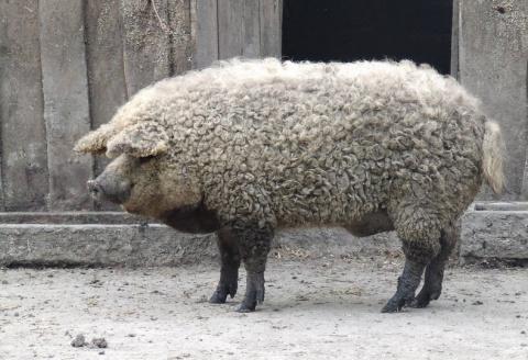Овцесвинья или свиноовца?